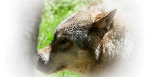 Un lupo longobardo