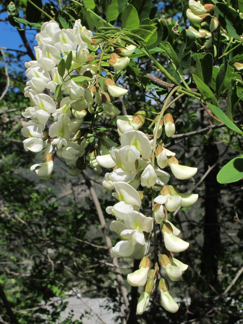 Specie vegetali aliene e invasive: Robinia pseudoacacia