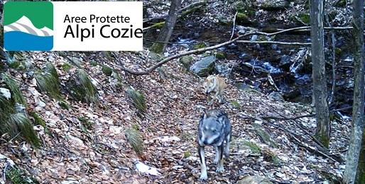 Forse avvistato il primo ibrido di lupo nel torinese