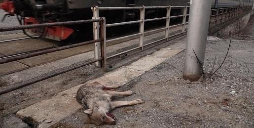 Recuperato un lupo morto lungo la ferrovia