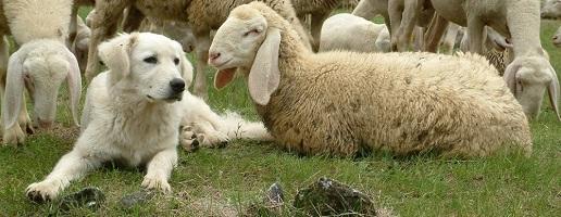 Bianchi come pecore, coraggiosi come lupi