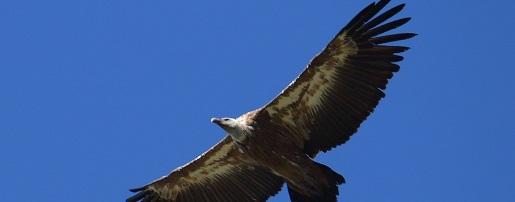 Gli avvoltoi un grande ritorno