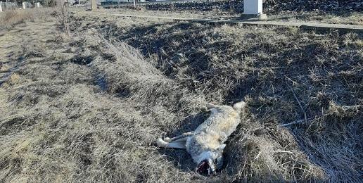 Un lupo morto fa notizia anche quando la notizia non c'è!