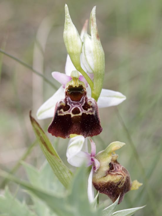 Incredibili Orchidee: il genere Ophrys