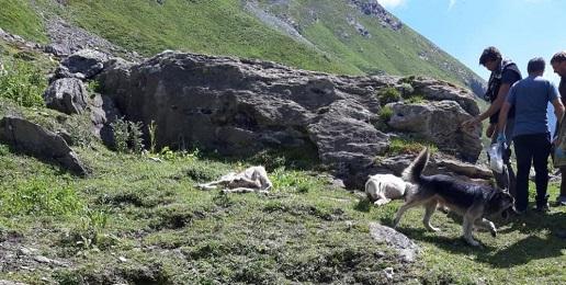 Pecore predate ai confini con il Parco