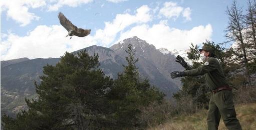 L'Astore torna a volare libero nei cieli dei Parchi Alpi Cozie