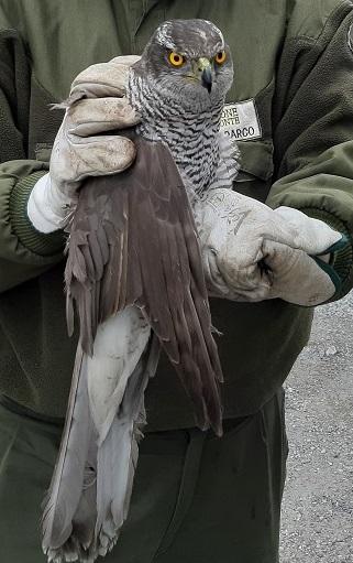 l'Astore, il falco del bosco