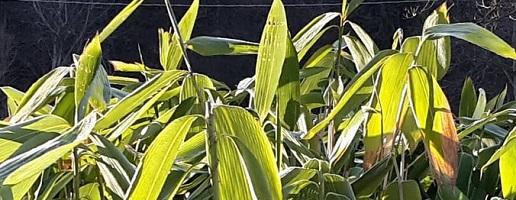 Produzioni originali in Valle di Susa: il bambù
