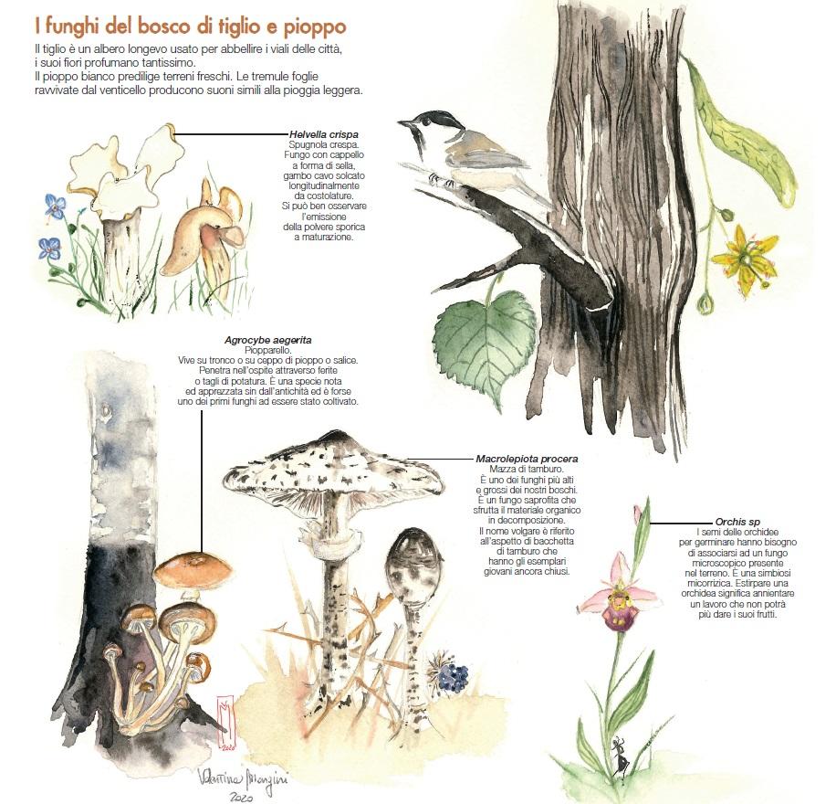 I funghi del bosco di tiglio e pioppo