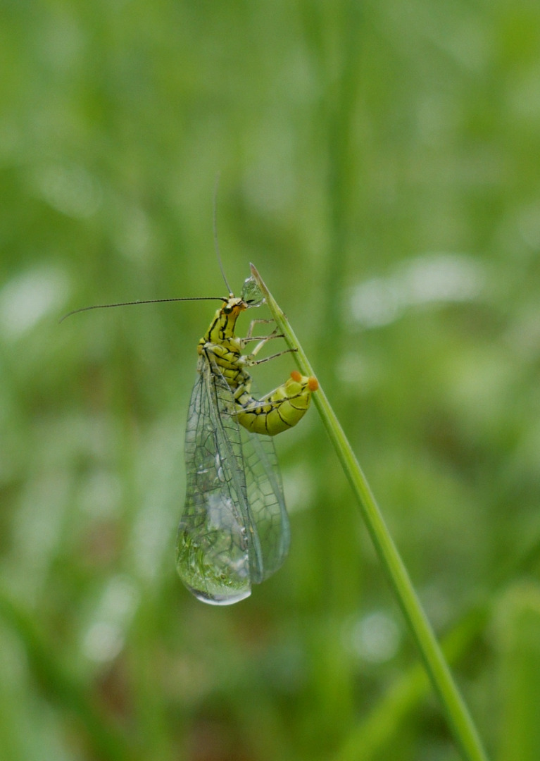 Hypochrysa elegans