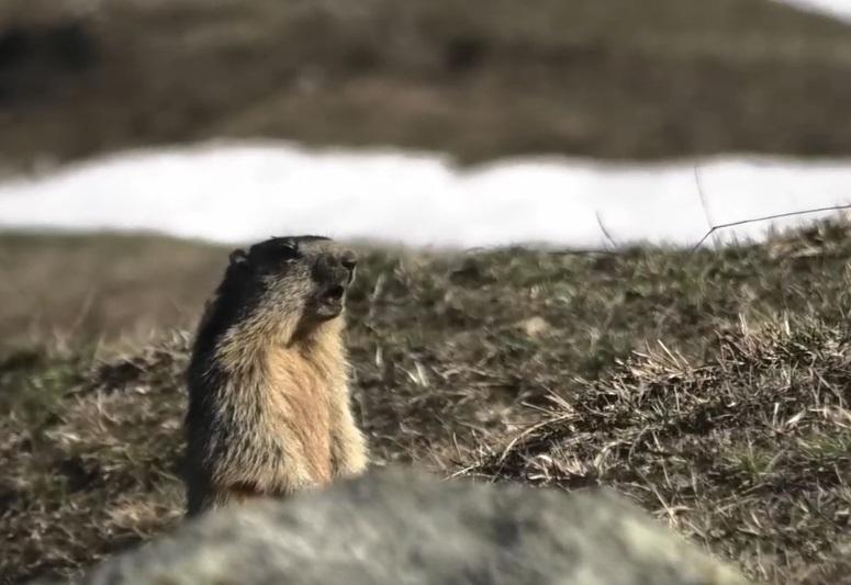 Le marmotte sono uscite dal letargo!