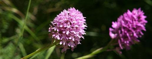 Custodi di biodiversità ritrovata: Alla ricerca delle orchidee quattro anni dopo il grande incendio