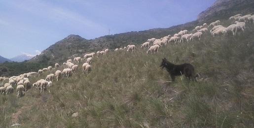 Le pecore del Progetto Life Xero-grazing sono tornate!