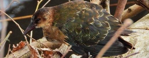 Pollo sultano di Allen: un uccello sub-sahariano sui Laghi di Avigliana!