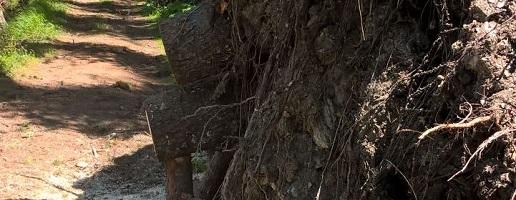 operazioni di abbattimento e di esbosco di lotto boschivo nei lariceti del Gran Bosco