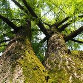 """Dal 4 settembre al 8 ottobre - Mostra """"Grandi alberi fuori dal Bosco"""" alla Certosa di Montebenedetto"""