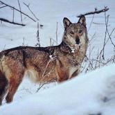 """Sabato 11 agosto - Bardonecchia """"Il ritorno del lupo"""""""