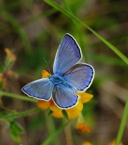 Farfalla del genere Polyommatus