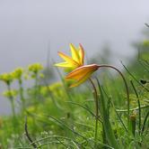 Fioritura di Tulipa australis in Val Troncea