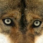 """Sabato 15 settembre - Fenestrelle: Convegno """"Tra cane e lupo: problematiche, sicurezza, prevenzione"""""""