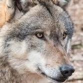 9 aprile 2017 - Con gli occhi del lupo